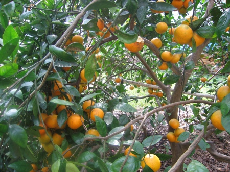 Our oranges are now ripe!